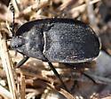 beetle - Embaphion muricatum