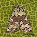 Cryphia sarepta 9295? - Cryphia sarepta