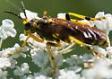 Is this Sawfly Tenthredo? - Tenthredo basilaris - female