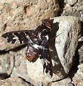 Progressive Bee fly ? - Exoprosopa caliptera