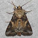 Yellow-striped Armyworm Moth - Hodges#9669 - Spodoptera ornithogalli