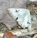 Brown Panopoda - Panopoda carneicosta