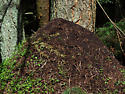 Western Thatching Ant - mound - Formica obscuripes