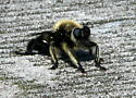 Unknown Fly - Laphria affinis