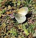 Unknown, but may be a Duskywing - Coenonympha tullia