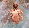 Beetle - Ptinus fur