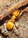Unknown Ant - Lasius nearcticus
