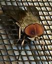 Fly - Tabanus