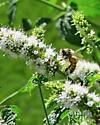 Western Honey Bee - Apis mellifera