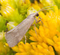? Tortricid Moth - Cisthene faustinula