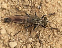 What type of Robber Fly is this? - Efferia