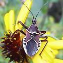 Purple Bug - Apiomerus spissipes