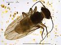 Ectopsocidae ? - Ectopsocus vachoni