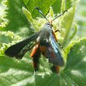 Laying eggs - Melittia cucurbitae - female