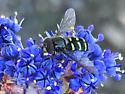 Eupeodes fumipennis? - Dasysyrphus
