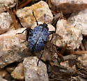 blue and black beetle - Gibbifer californicus