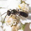 wasp ? - Lasioglossum - male