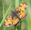 pearl or northern?  if possible please - Phyciodes cocyta