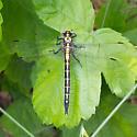 Dragonfly black and yellow - Phanogomphus kurilis