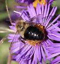 Bee in Barrie - Bombus impatiens