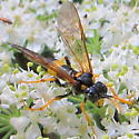Wasp (?) with yellow band on abdomen and yellow on thorax, legs, and antennae - Tenthredo maxima - female
