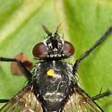 Tachinid - Admontia nasoni - female