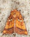 Papaipema leucostigma or lysimachiae? - Papaipema