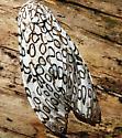 Dead moth - Hypercompe scribonia