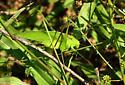 grasshopper - Amblycorypha - male