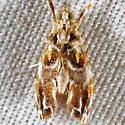 UNknown Moth - Glaphyria basiflavalis