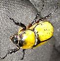 Giant Yellow Beetle - Dynastes tityus