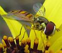 Hover Fly - Allograpta obliqua