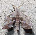 sphinx moth - Amorpha juglandis - male