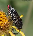 Buprestid - Acmaeodera haemorrhoa
