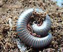 millipede ID please - Narceus americanus-annularis-complex