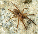 Wolf spider? - Gladicosa gulosa