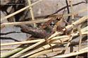 Orthoptera - Tettigidea lateralis