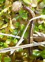 millipede - Brachyiulus