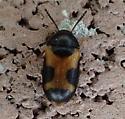 beetle - Mycetophagus punctatus