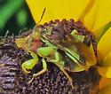 Phymata americana? - Phymata - male - female