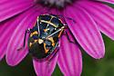 Orange/white spotted black insect - Murgantia histrionica