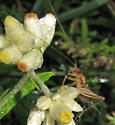 Ground Cricket - Nemobiinae? - Anaxipha - male