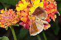 moth - Allagrapha aerea