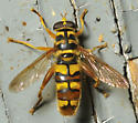 Hover bee - Milesia virginiensis