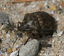 Shield Bug - Tetyra bipunctata