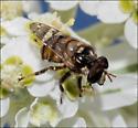 Insect on snow-on-the-mountain - Copestylum tamaulipanum