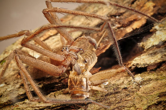 Nursery Web Spider (Pisaurina mira) - feeding behavior - Pisaurina mira - male