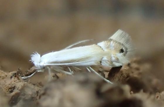 Lesser maple leaf blotch miner - Phyllonorycter lucidicostella