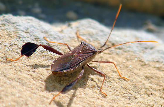 Which species of leaf-footed bug is this? - Leptoglossus oppositus