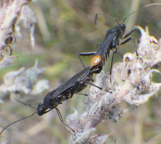 AlydidaeX2, lateral - Alydus eurinus - male - female